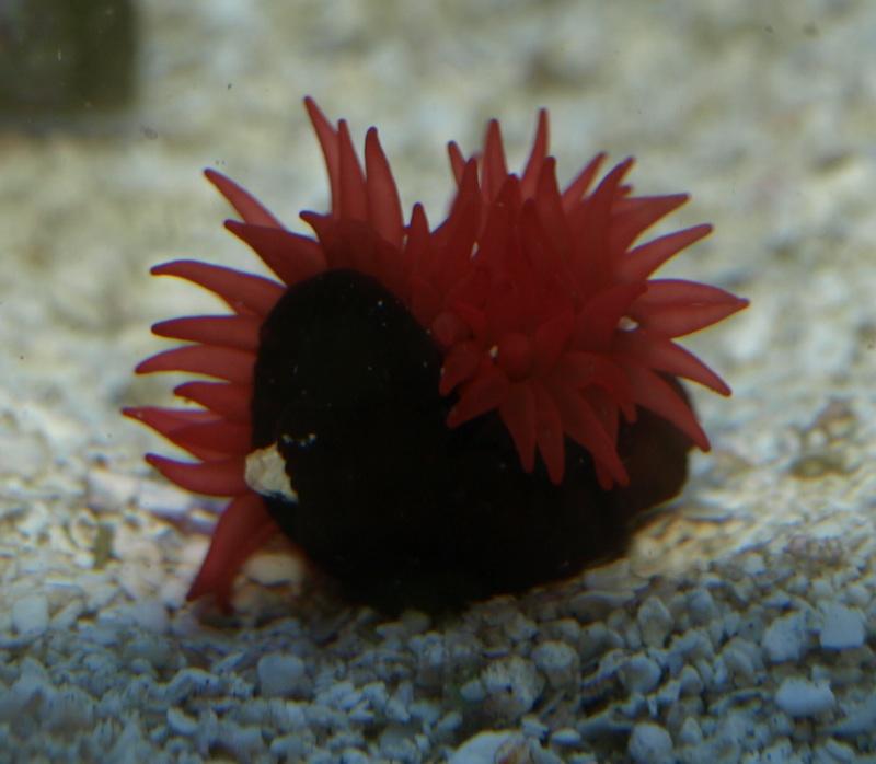 Red waratah anemone - Anemone species caring color refinement ...
