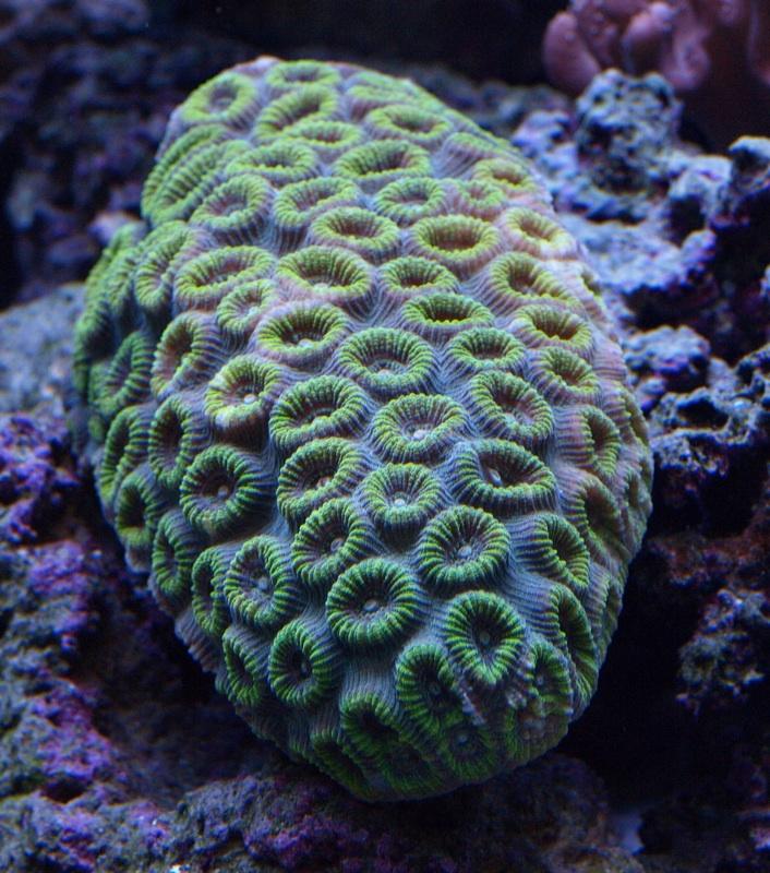 Green Metallic Brain Coral