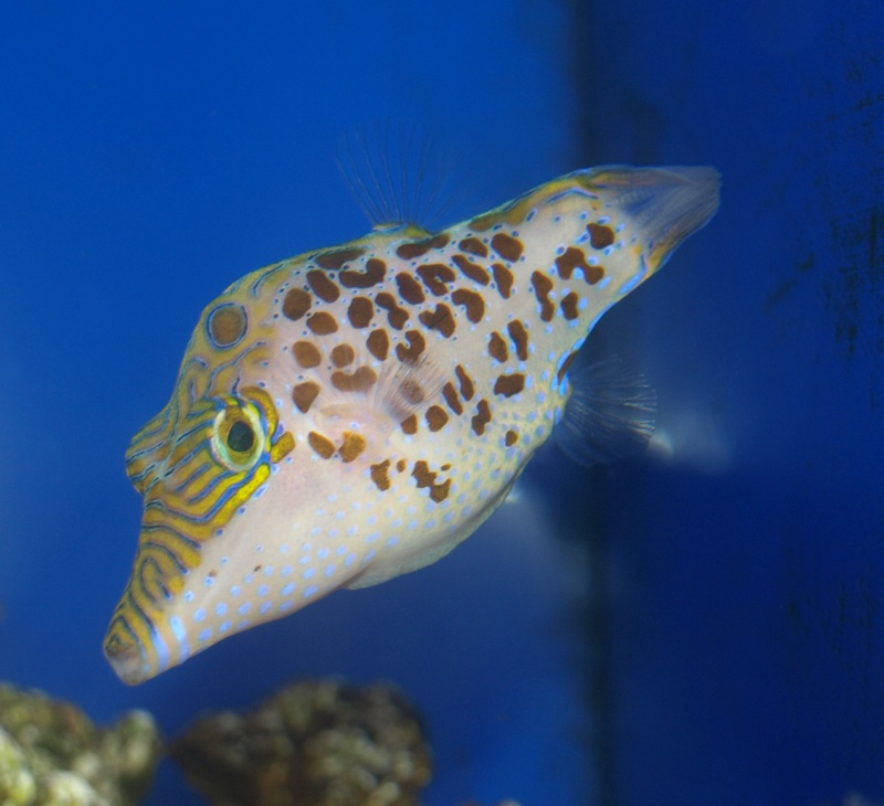 Image gallery leopard puffer for Freshwater puffer fish care