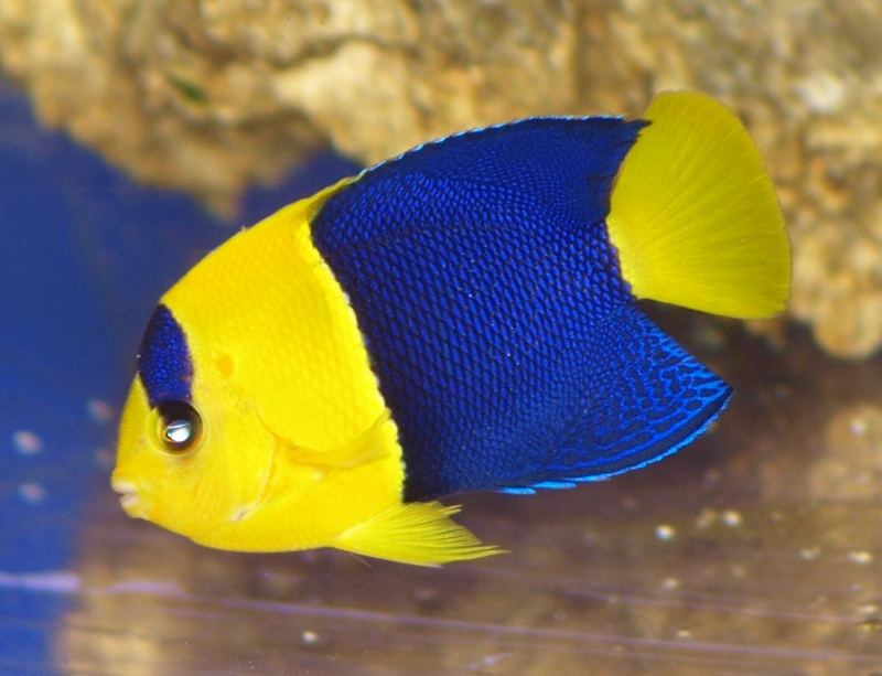 Bicolor angelfish for Fish compatible with angelfish