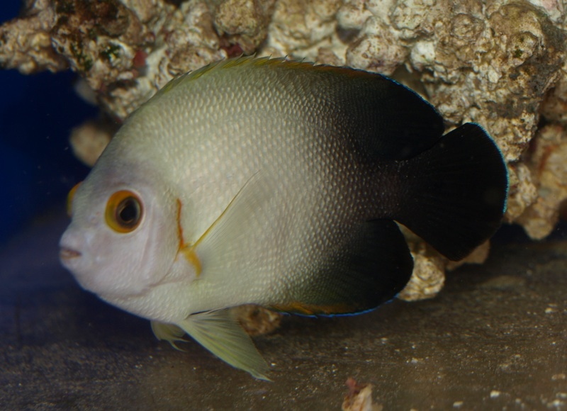 Half Black Pygmy Angelfish