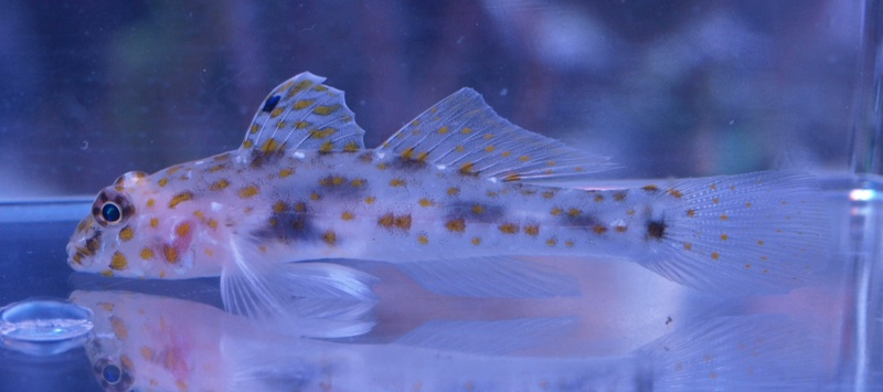 Butterfly Goby
