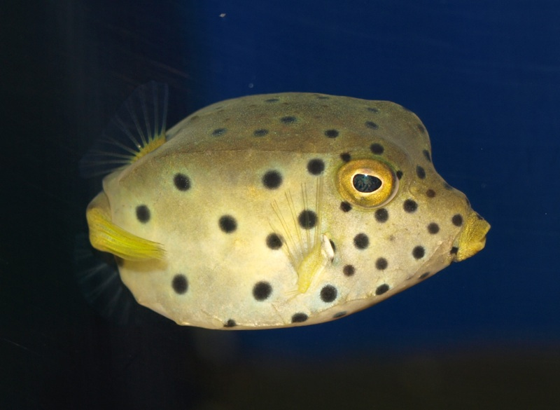 Cubicus Boxfish Care Yellow Cubicus Boxfish