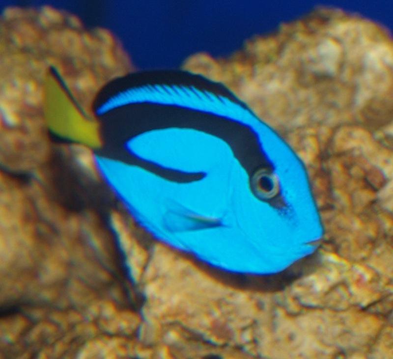 Baby blue tang fish