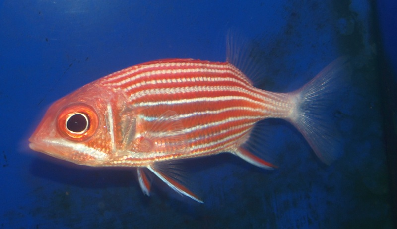 Flame striped squirrelfish for Big eye squirrel fish