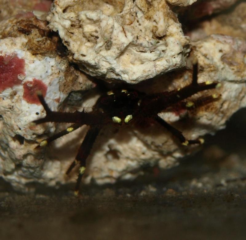 Phylum Arthropoda Class Crustacea Characteristics Phylum Arthropoda Class Crustacea Range Western Pacific Size 2 in