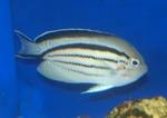 Now that adult koran angel fish where