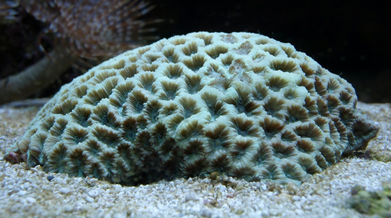 Green Pineapple Coral