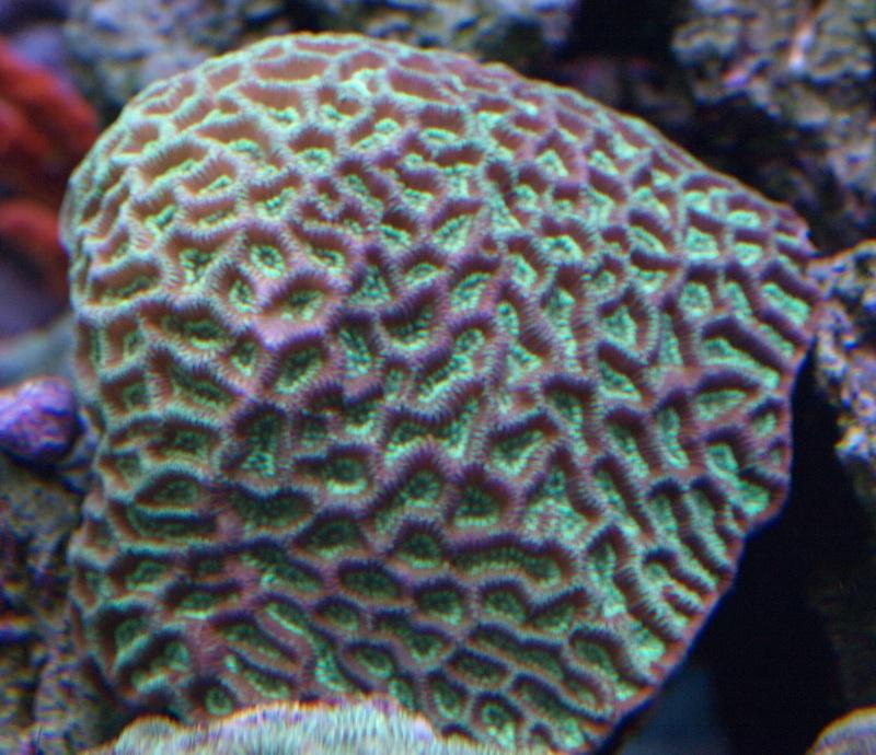 Green Metallic Pineapple Coral