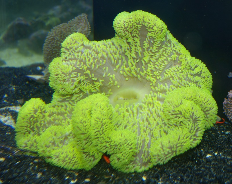 Giant carpet anemone - Anemone species caring color refinement ...