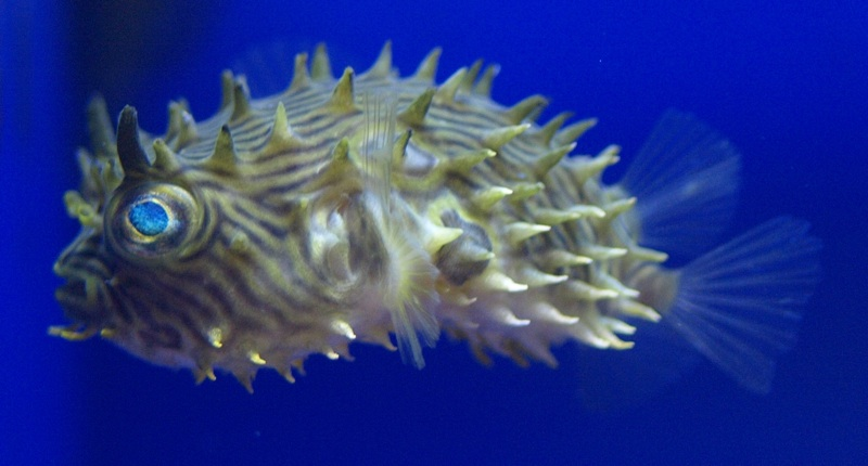 Porcupine horned puffer for Puffer fish diet